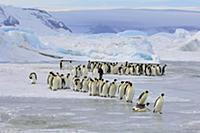 Emperor Penguin (Aptenodytes forsteri) group walki
