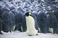 Emperor Penguin (Aptenodytes forsteri) male shuffl