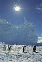 Emperor Penguin (Aptenodytes forsteri) commuters r