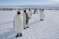 Emperor Penguin (Aptenodytes forsteri) colony, Pry