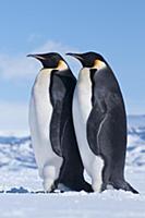 Emperor Penguin (Aptenodytes forsteri) pair, Antar