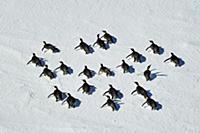 Emperor Penguin (Aptenodytes forsteri) group tobog