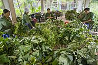 Conservationists preparing leaves for rescued prim