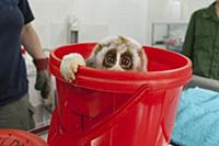 Northern Slow Loris (Nycticebus bengalensis) rescu