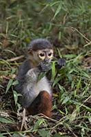 Douc Langur (Pygathrix nemaeus) young rescued from