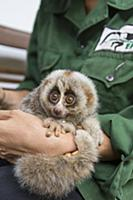 Northern Slow Loris (Nycticebus bengalensis) young