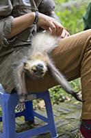 Gray-shanked Douc (Pygathrix cinerea) rehabilitato