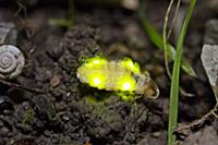 Common Glow Worm (Lampyris noctiluca) female showi