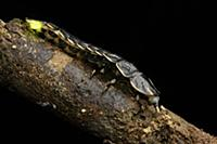 Glow Worm (Lamprigera sp) neotenic female, Gunung