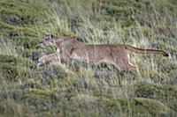 Mountain Lion (Puma concolor) female hunting, Torr