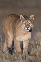 Mountain Lion (Puma concolor), Torres del Paine Na
