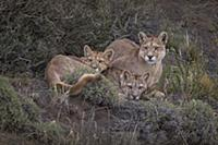 Mountain Lion (Puma concolor) mother and cubs, Tor