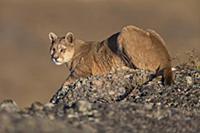 Mountain Lion (Puma concolor) female, Torres del P