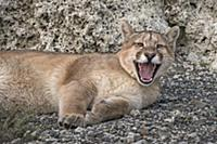 Mountain Lion (Puma concolor) sub-adult yawning, T