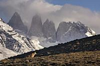 Mountain Lion (Puma concolor) and mountains, Torre