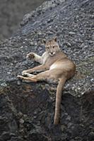 Mountain Lion (Puma concolor) sub-adult male, Torr