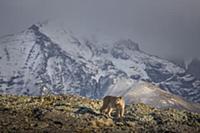 Mountain Lion (Puma concolor) female and mountains