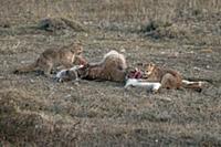 Mountain Lion (Puma concolor) young cubs feeding o