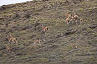 Mountain Lion (Puma concolor) chasing Guanaco (Lam