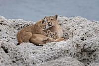 Mountain Lion (Puma concolor) mother and young cub