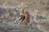 Mountain Lion (Puma concolor) hunting Guanaco (Lam