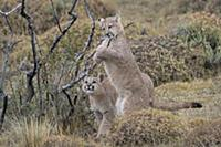 Mountain Lion (Puma concolor) four month old cubs