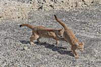 Mountain Lion (Puma concolor) young cubs playing,