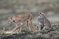 Mountain Lion (Puma concolor) mother and four mont