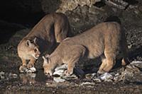 Mountain Lion (Puma concolor) sub-adult sisters dr