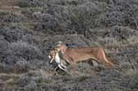 Mountain Lion (Puma concolor) female carrying Euro