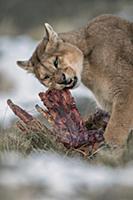 Mountain Lion (Puma concolor) male feeding on Guan