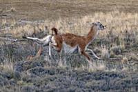 Mountain Lion (Puma concolor) escaping from Mounta