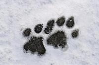 Mountain Lion (Puma concolor) tracks in snow, Torr