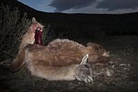 Mountain Lion (Puma concolor) sub-adult feeding on