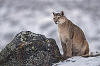 Mountain Lion (Puma concolor) female in snow, Torr