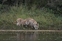 Mountain Lion (Puma concolor) mother and cub drink