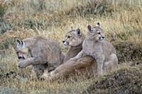 Mountain Lion (Puma concolor) mother with four mon