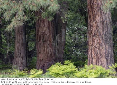 Jeffrey Pine (Pinus jeffreyi), Incense Cedar (Calocedrus decurrens) and ferns, Yosemite National Park, California