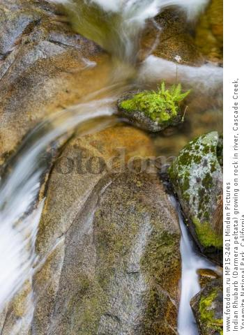 Indian Rhubarb (Darmera peltata) growing on rock in river, Cascade Creek, Yosemite National Park, California