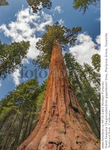 Giant Sequoia (Sequoiadendron giganteum) tree, Mariposa Grove, Yosemite National Park, California
