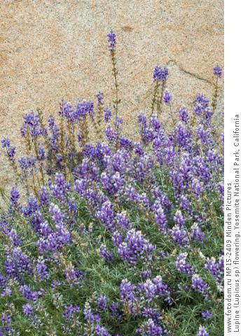 Lupine (Lupinus sp) flowering, Yosemite National Park, California