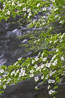Mountain Dogwood (Cornus nuttallii) flowering, Mer