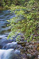 Mountain Dogwood (Cornus nuttallii), Merced River,