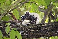 Cotton-top Tamarin (Saguinus oedipus) twins, one m