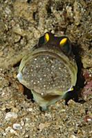 Spotfin Jawfish (Opistognathus sp) male protective
