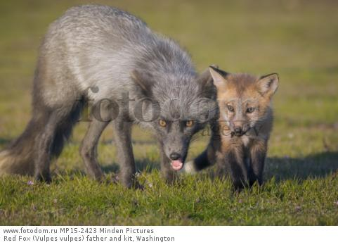 Red Fox (Vulpes vulpes) father and kit, Washington