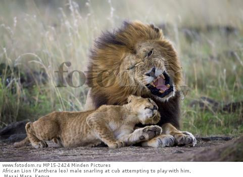 African Lion (Panthera leo) male snarling at cub attempting to play with him, Masai Mara, Kenya
