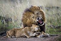African Lion (Panthera leo) male snarling at cub a