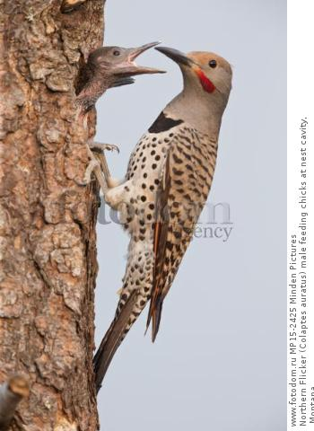 Northern Flicker (Colaptes auratus) male feeding chicks at nest cavity, Montana