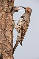 Northern Flicker (Colaptes auratus) male feeding c